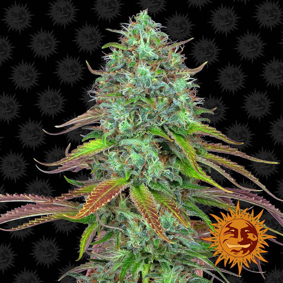 Barney's Farm LSD AUTO Feminised Seeds