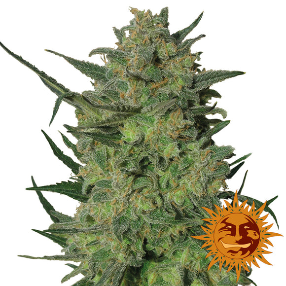 Barney's Farm LSD Feminised Seeds