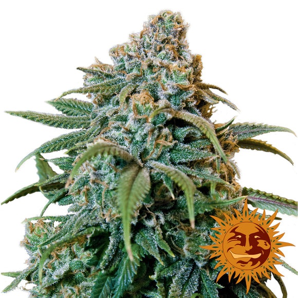 Barney's Farm Liberty Haze Feminised Seeds