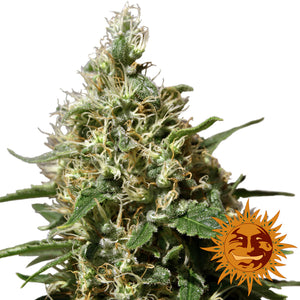 Barney's Farm Peppermint Kush Feminised Seeds