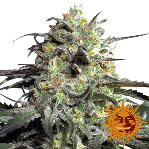 Barney's Farm Peyote Cookies Feminised Seeds
