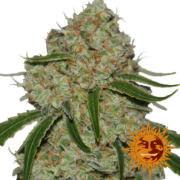 Barney's Farm Phantom OG Feminised Seeds