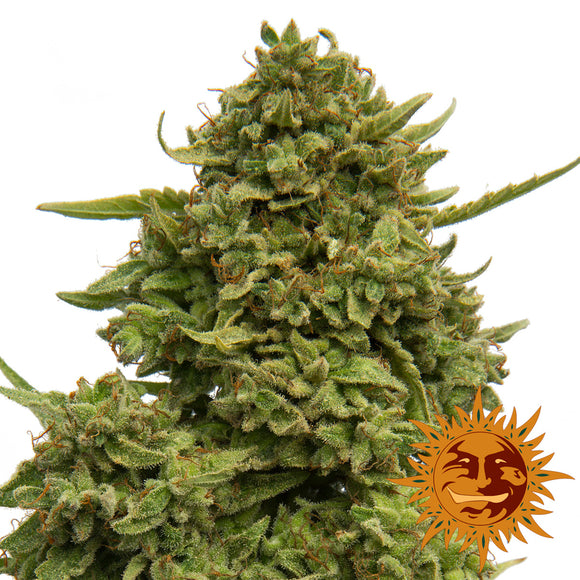 Barney's Farm Pineapple Chunk Feminised Seeds