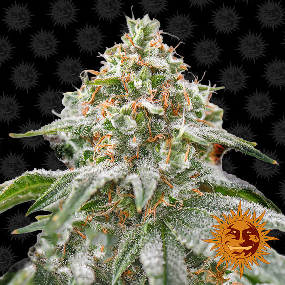 Barney's Farm Pink Kush Feminised Seeds