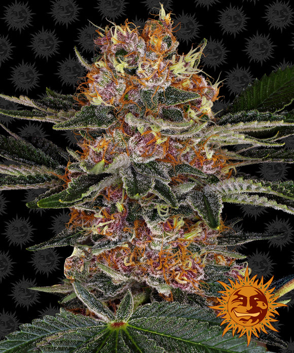 Barney's Farm Purple Punch Feminised Seeds