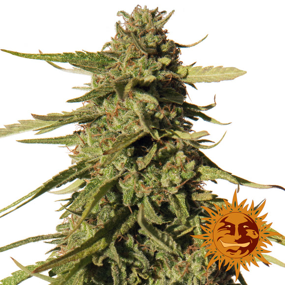 Barney's Farm Red Cherry Berry Feminised Seeds
