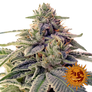 Barney's Farm Shiskaberry Feminised Seeds