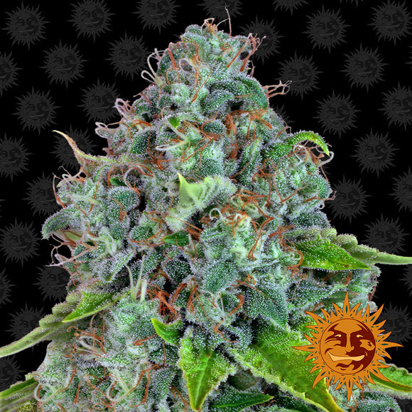 Barney's Farm Strawberry Lemonade Feminised Seeds