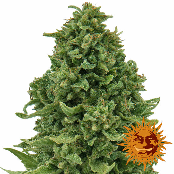 Barney's Farm Sweet Tooth Autoflowering Feminised Seeds