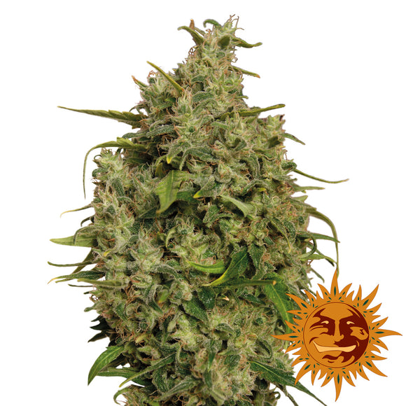 Barney's Farm Sweet Tooth Feminised Seeds