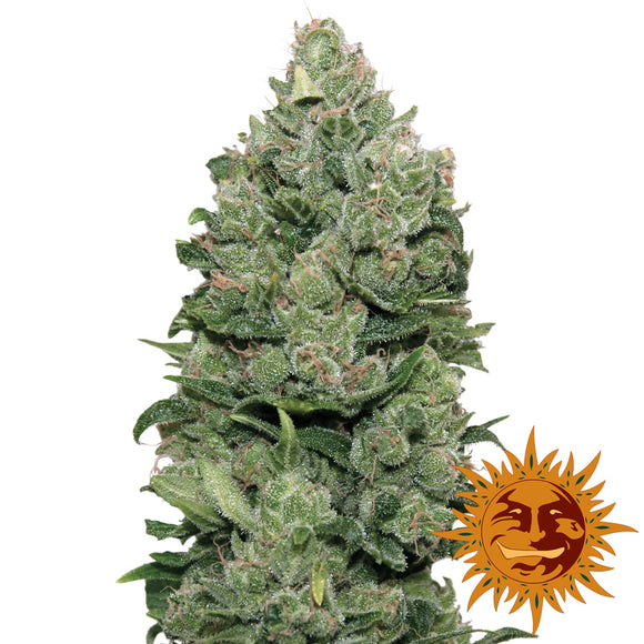 Barney's Farm Top Dawg Feminised Seeds
