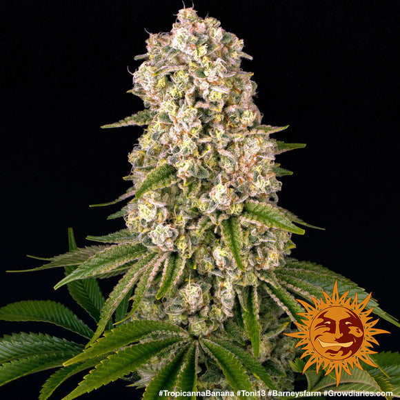 Barney's Farm Tropicanna Banana Feminised Seeds