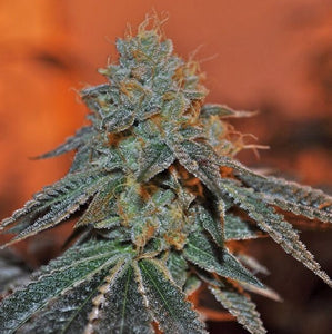 Elemental Seeds Berry Bomb Feminised Seeds