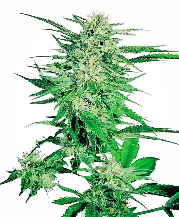 Sensi Seeds Big Bud Feminised Seeds
