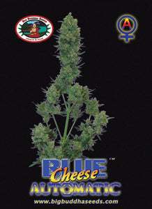 Big Buddha Blue Cheese Autoflowering Feminised Seeds