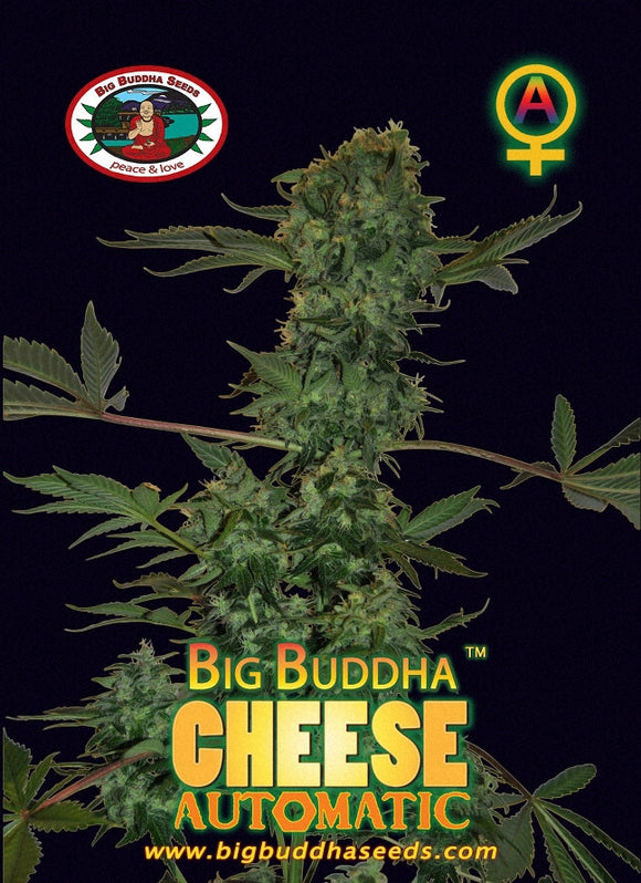 Big Buddha Cheese Autoflowering Feminised Seeds