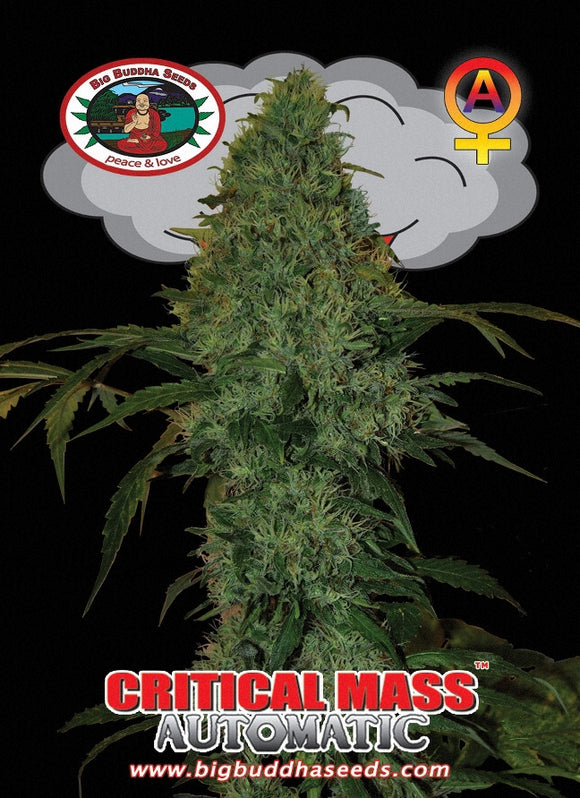 Big Buddha Critical Mass Autoflowering Feminised Seeds