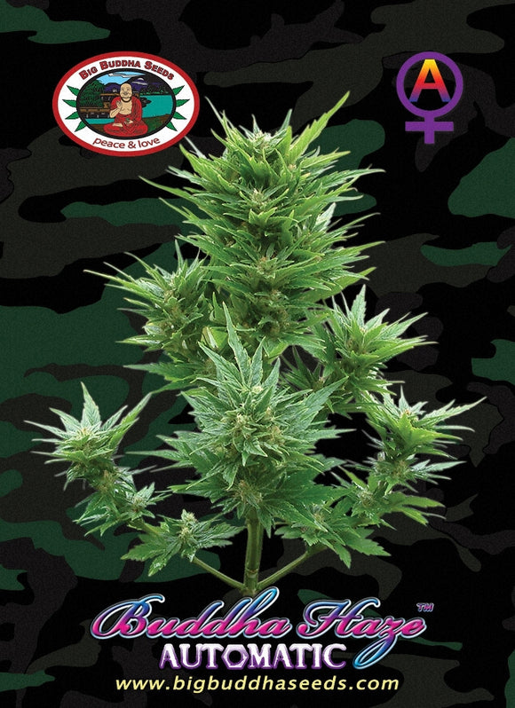 Big Buddha Haze Autoflowering Feminised Seeds