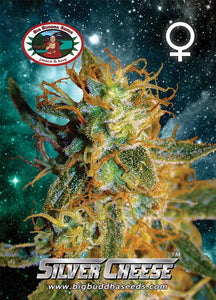 Big Buddha Silver Cheese Feminised Seeds