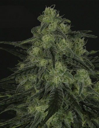 Ripper Seeds Black Valley Feminised Seeds