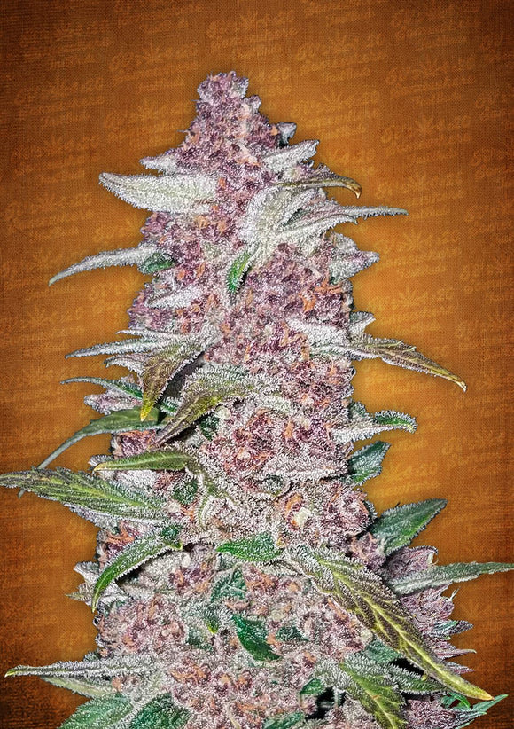 Fast Buds Blackberry AUTO Feminised Seeds