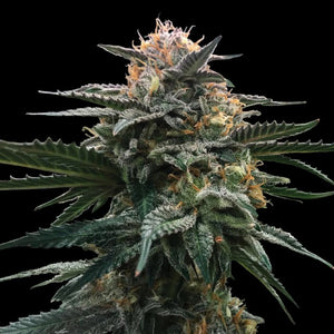 DNA Genetics Sorbet Collection Blood Orange Sorbet Feminised Seeds