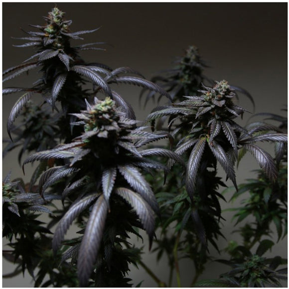 The Plug Blue Sherbert S1 Female Seeds
