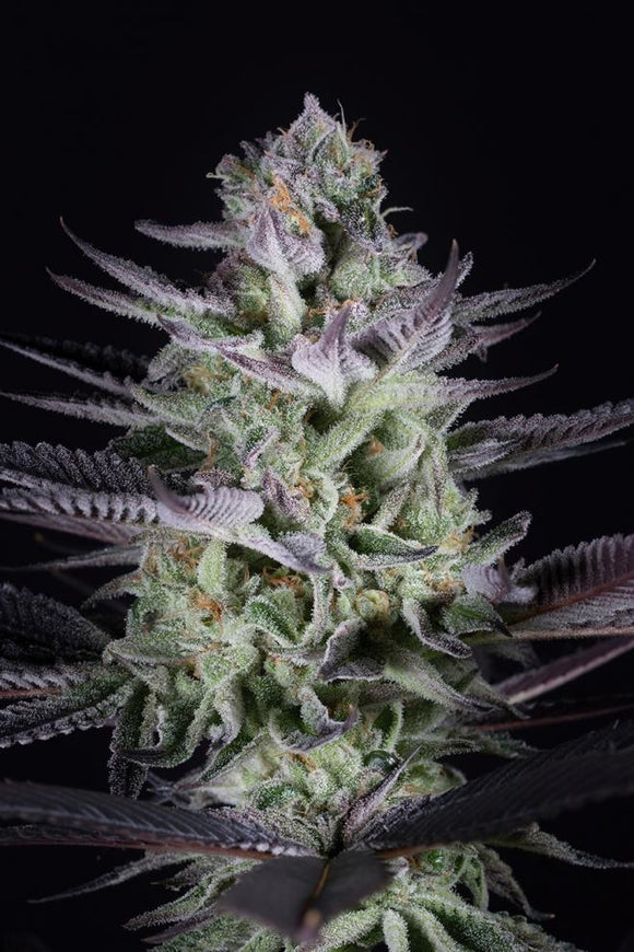 Dinafem Blueberry Cookies Feminised Seeds