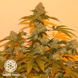 Bodhi Seeds Lazy Lightning Regular Seeds