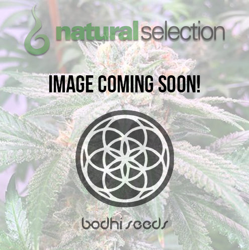 Bodhi Seeds Sakura Regular Seeds