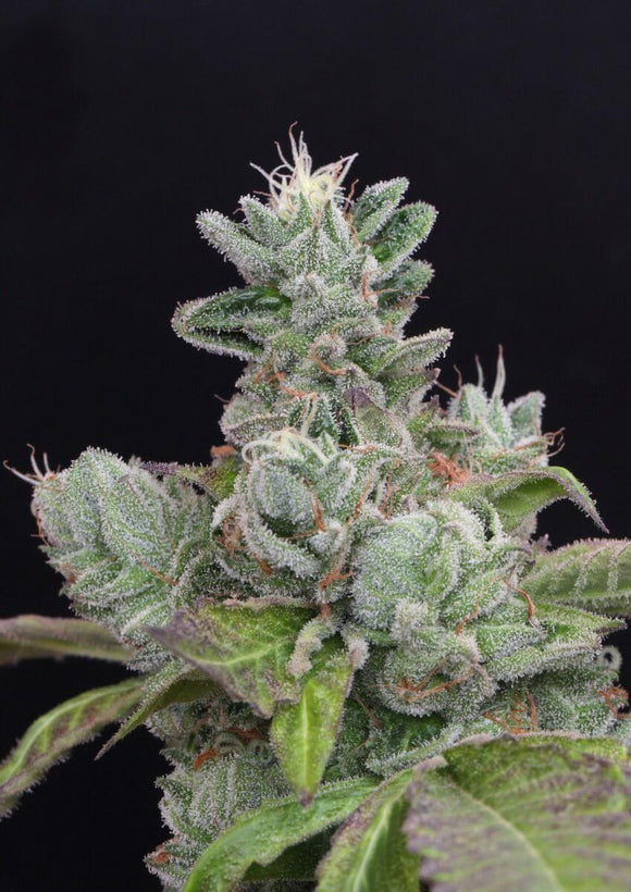 Mamiko Seeds Bubba Cookies Feminised Seeds