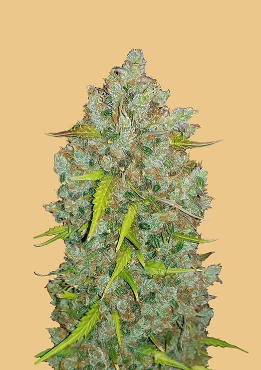 Fast Buds BubbleGum AUTO Feminised Seeds