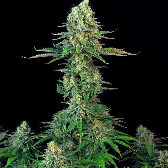 T.H. Seeds Bubblegum Feminised Seeds