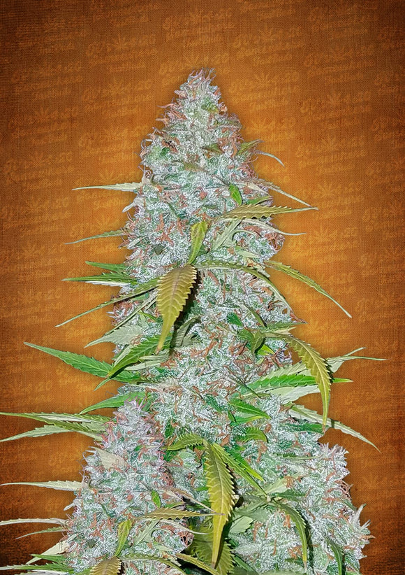 Fast Buds California Snow AUTO Feminised Seeds