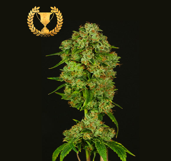 Devil's Harvest Casey Jones Feminised Seeds