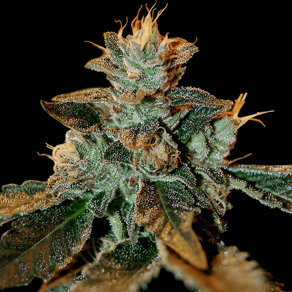 DNA Genetics Cataract Kush Feminised Seeds