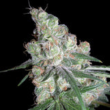 DNA Genetics Chocolope Feminised Seeds
