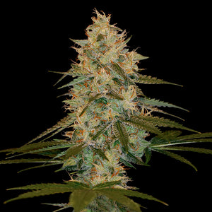 DNA Genetics Chocolope Kush Feminised Seeds