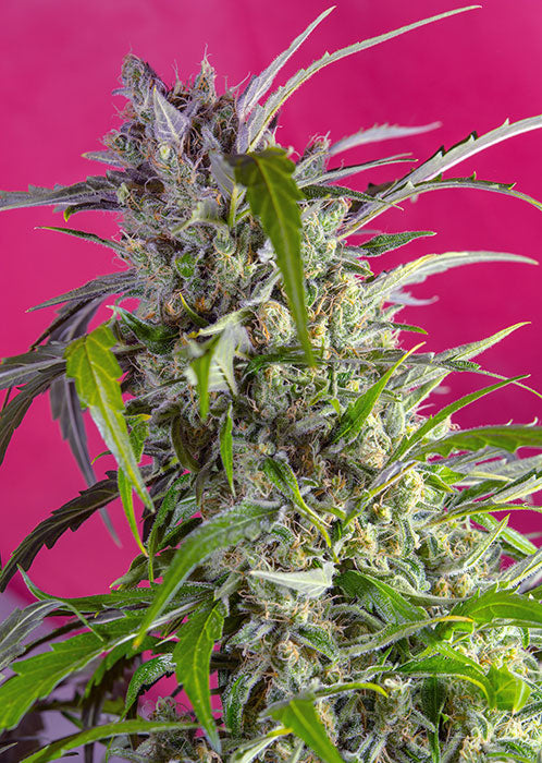 Sweet Seeds Crystal Candy XL AUTO Feminised Cannabis Seeds
