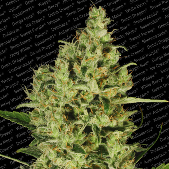Paradise Seeds Delahaze Feminised Cannabis Seeds
