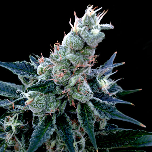 DNA Genetics Double Alien 18 Feminised Seeds