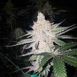 Dark Horse Genetics Double Lemon Pie Regular Cannabis Seeds