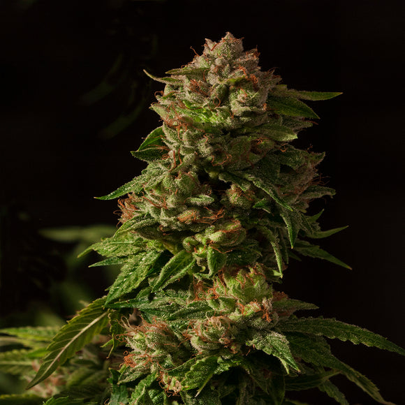Devil's Harvest Fallen Angel Feminised Seeds