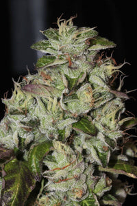 Mamiko Seeds Fire Afghan Cookies Feminised Seeds