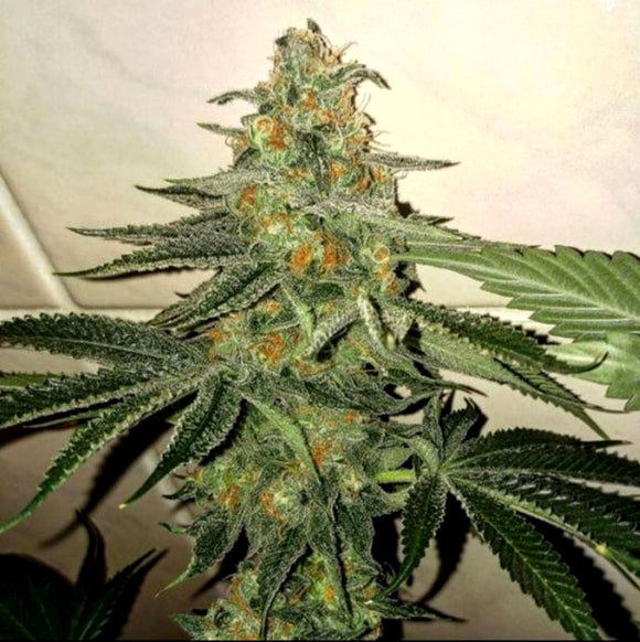 The Plug Forbidden Fruit Cake Female Seeds