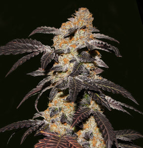 T.H. Seeds French Cookies Feminised Seeds