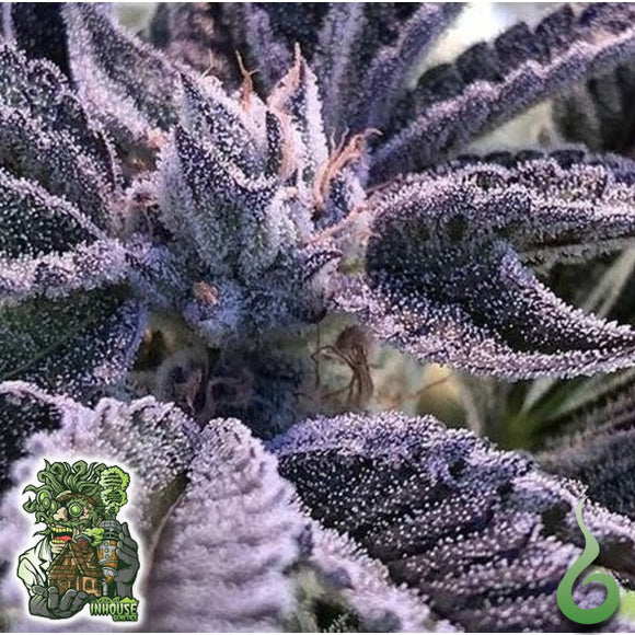 In House Genetics Frosted Apricots Feminised Seeds