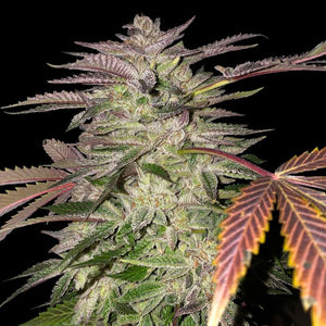 T.H. Seeds Gelato Cake Limited Edition Feminised Seeds