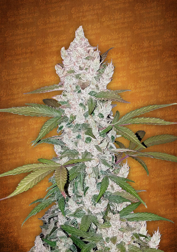Fast Buds Girl Scout Cookies AUTO Feminised Seeds