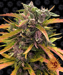 Barney's Farm Gorilla Glue AUTO Feminised Seeds